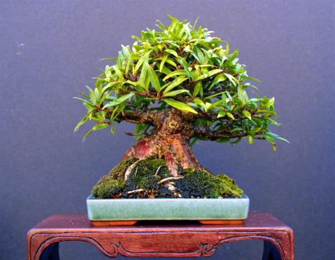robert_kempinski_ficus_nerifolia_wasabi_2787