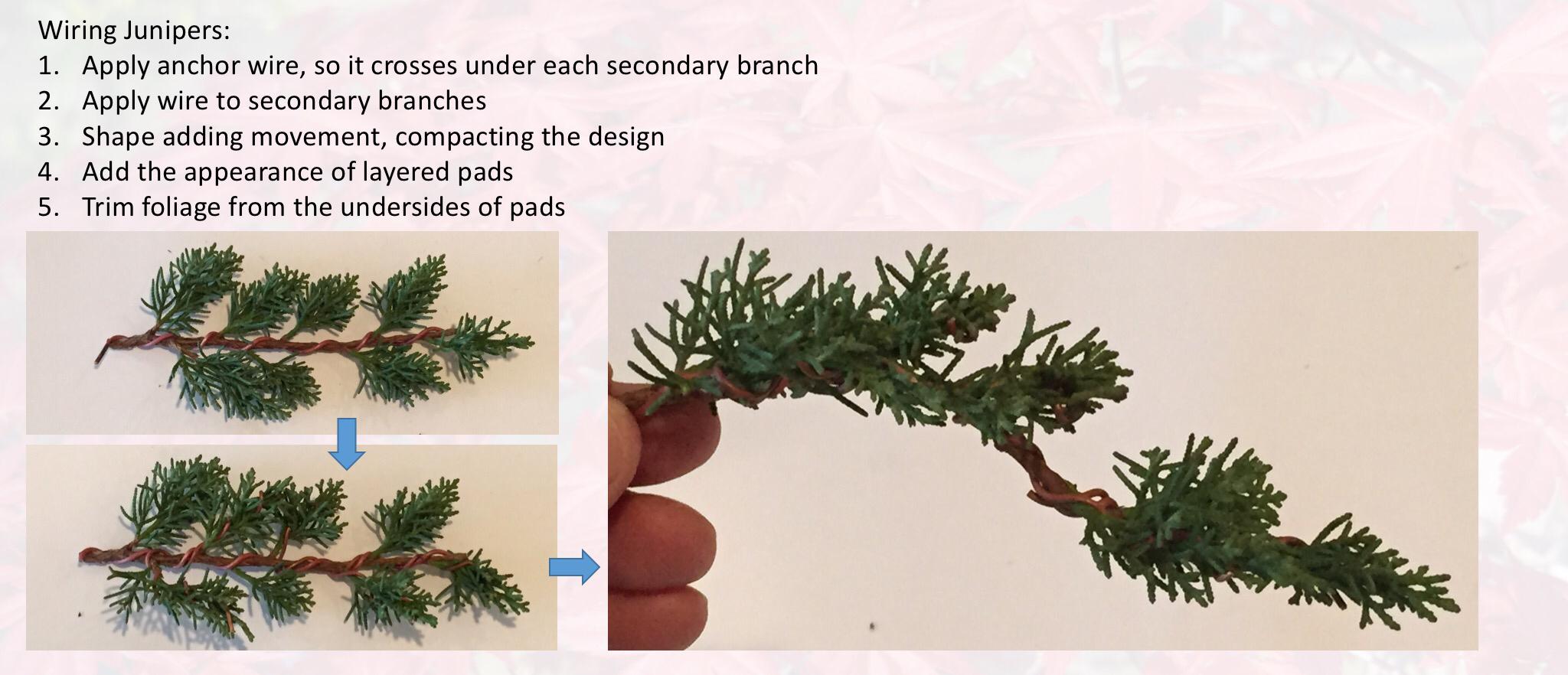 Surprising Juniper Pinching Pruning And Wiring Indiana Bonsai Wiring 101 Ouplipimpapsstreekradiomeanderfmnl