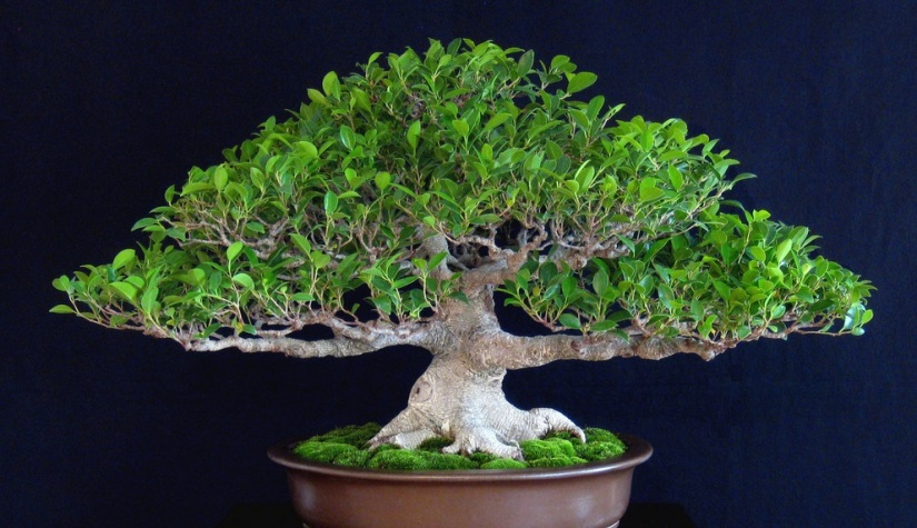 A 19-Year Journey of a Ficus Microcarpa – From Pre-bonsai to Winning Awards